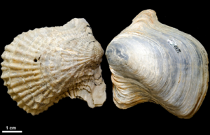 Mollusk fossils found in Louisiana