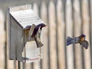 starling_v_bluebird_d_kinee