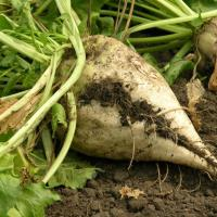 The Sugar Beet Generation