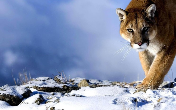 6890725-mountain-lion-wallpaper
