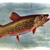 Silted and Stilted: The Enduring Physique of the Eastern Brook Trout
