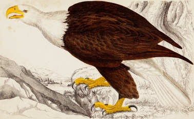 Bald eagle, 1840 hand-coloured engraving