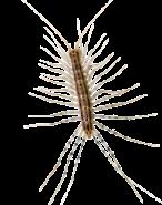 centipede-in-pennsylvania