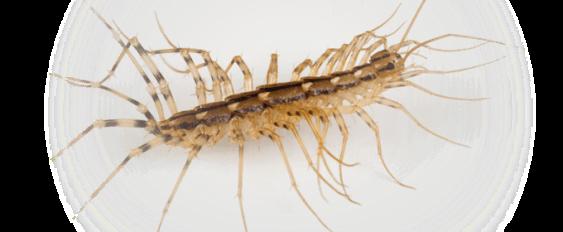 centipedes-maryland