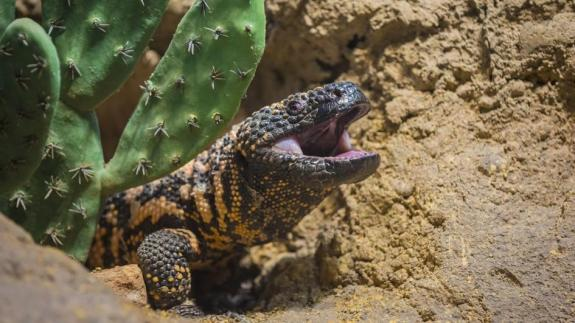 gila-monster-emerging-ground.jpg.adapt.945.1