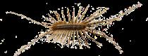 house-centipede
