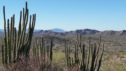 organ pipe cacti