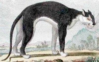 Buffon's couguar noire