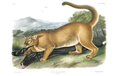 John Audubon, Cougar - AUD509